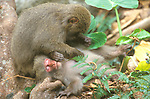 Japan, Kagoshima, Yakushima,Yakushima Macaque Grooming, (Macaca fuscata yakui)