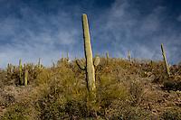 Cactus, Saguaro West