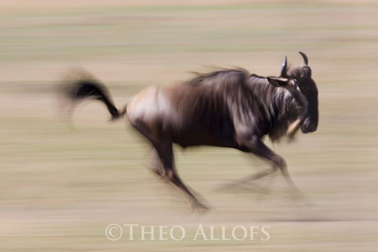 Wildebeest (Connochaetes taurinus) running, motion blur, Maasai Mara, Kenya