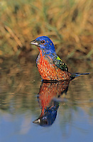 Painted Bunting, Passerina ciris, male bathing, Lake Corpus Christi, Texas, USA