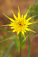 131670001 a wild goatsbeard wildflower puts forth a brilliant intricately designed yellow wildflower in southern utah