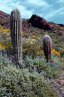 Saguaro cactus (Cereus gigantes) in a desert wildflower landscape. Picacho Peak State Park, Arizona.