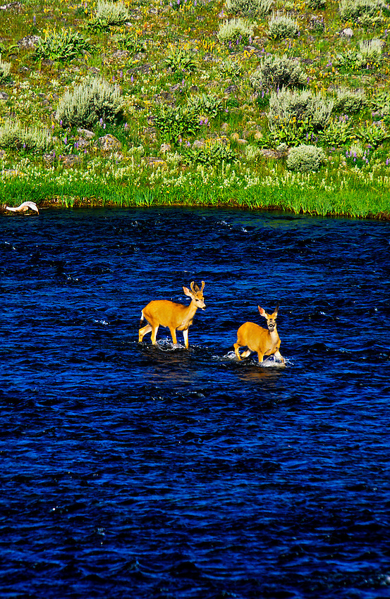 Deer, Madison River, Yellowstone National Park, Wyoming USA