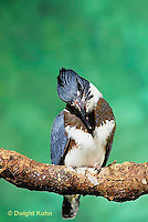 KG01-061x  Belted Kingfisher - male perched along stream preparing to catch fish - Megaceryle alcyon