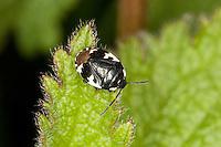 Schwarzweiße Erdwanze, Tritomegas bicolor syn. Sehirus bicolor, auf Taubnessel-Blatt, Wanze
