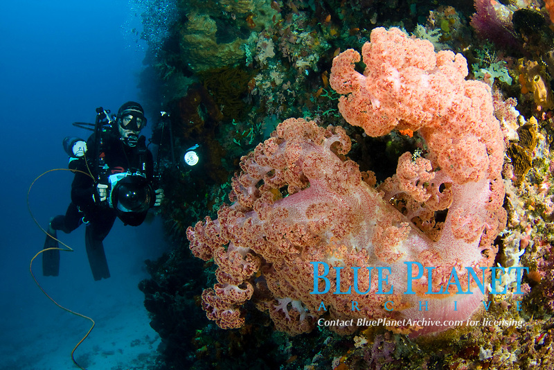 Alcyonarian coral dominates this reef scene with a diver/photographer (MR). Komodo, Indonesia,