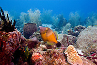 White spotted filefish, Cantherhines macrocerus, in saddled color pattern or orange phase, St. Lucia, Caribbean, Atlantic