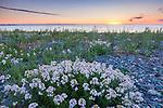 Beach flowers at sunrise, Winthrop, Massachusetts, USA