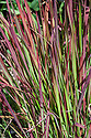 Imperata cylindrica 'Rubra' (syn. Imperata cylindrica 'Red Baron'), early August. A deciduous, rhizomatous perennial grass, also known as Japanese blood grass and Cogon grass.