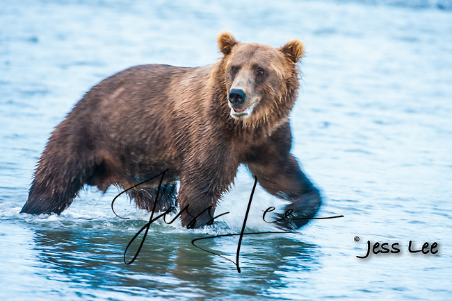 Grizzly Bear or brown bear alaska Alaska Brown bears also known as Costal Grizzlies or grizzly bears