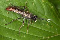 Blattwespe, Männchen, Tenthredo cf. colon, Tenthredella cf. colon, sawfly