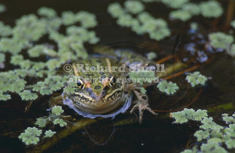 2754-HW Northern Leopard Frog, Rana pipiens, in pond; in Stillwater, Minnesota