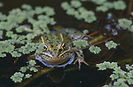 2754-HW Northern Leopard Frog, Rana pipiens, in pond; in Stillwater, Minnesota