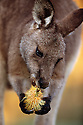 Australia, NSW, Murramarang National Park, Eastern grey kangaroo eating flower of Banksia integrifolia