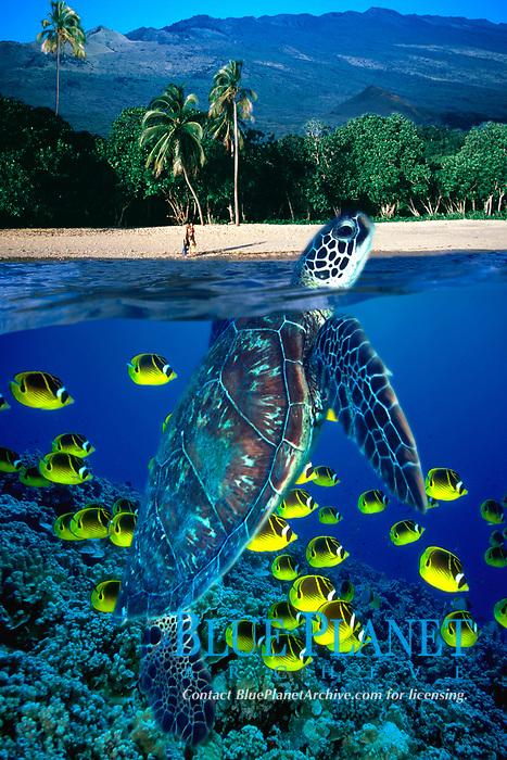 green sea turtle, Chelonia mydas, and schooling racoon butterflyfish, Chaetodon lunula, Maui, Hawaii, Pacific Ocean (dc)