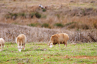 Sheep grazing in a field outside the winery. Henrque HM Uva, Herdade da Mingorra, Alentejo, Portugal