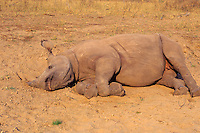 Black Rhinoceros (Diceros bicornis) resting at a dust bathing spot.