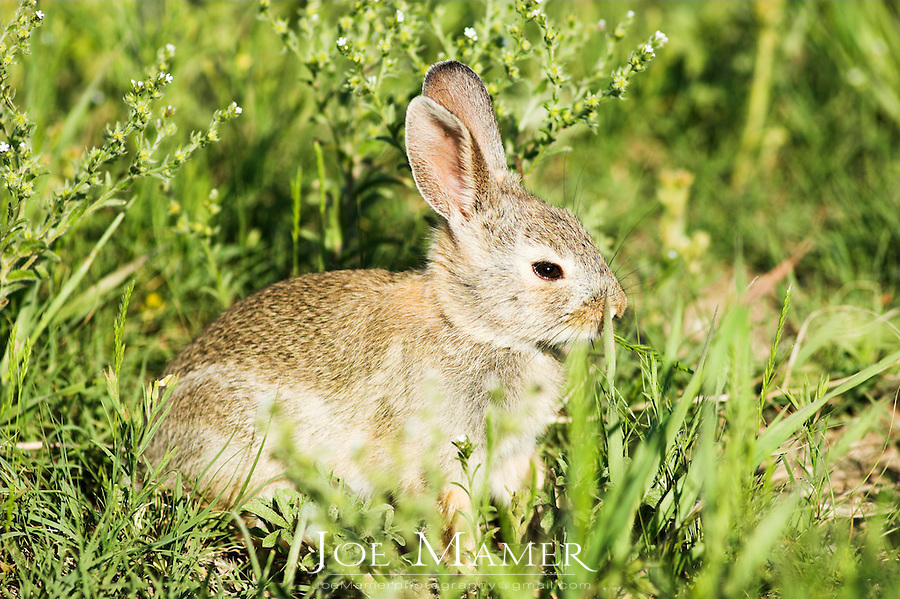 A juvenile Eastern Cottontail rabbit (Sylvilagus floridanus), a member of the family Leporidae feeds on tall grasses.