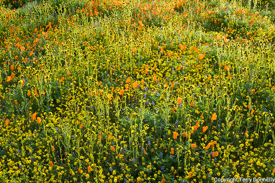 Mojave Desert, California:<br /> Backlit spring wildflowers, California poppies (Eschscholzia californica), California Goldfields (Lasthenia californica) and Common Fiddleneck<br /> (Amsinckia intermedia) blooming near the Antelope Valley Poppy Reserve