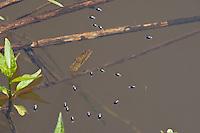 Taumelkäfer, Kreiselkäfer, Drehkäfer, Taumel-Käfer, Kreisel-Käfer, Dreh-Käfer, Gyrinus spec., Gyrinidae, kreisen auf Wasseroberfläche, whirligig beetles, whirligig beetle
