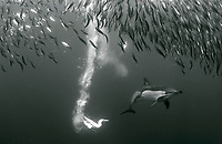 long-beaked common dolphin, Delphinus capensis, attacking and feeding on sardine baitball of South American pilchards, Sardinops sagax, during annual sardine run, Wild Coast, South Africa, Indian Ocean