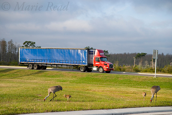 Greater Sandhill Cranes (Grus canadensis) (Florida race), adults and chicks near road with truck passing Kissimmee, Florida, USA