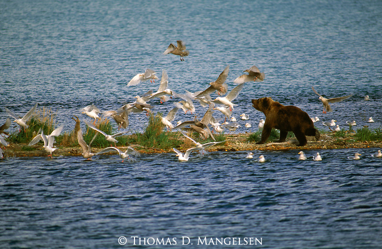 Grizzly bear and gulls feed on the spawning salmon in Katmai National Park.