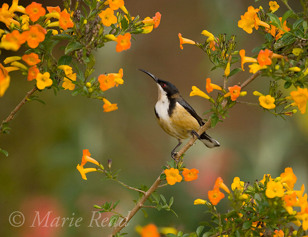 Eastern Spinebill (Acanthorhynchus tenuirostris), amid orange flowers Atherton Tableland, Queensland, Australia.