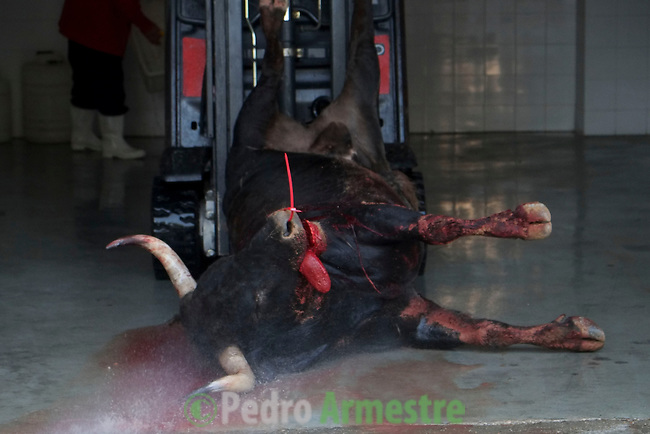 A bull of Dolores Aguirre Ybarra is seen dead during taking part in a bullfight of the San Fermin festival at Pamplona's bullring on July 8, 2013, in Pamplona, northern Spain. The festival is a symbol of Spanish culture that attracts thousands of tourists to watch the bull runs despite heavy condemnation from animal rights groups . (c) Pedro ARMESTRE