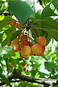 Cherry 'Napoleon Bigarreau'. A pale yellow-red sweet cherry originally from Kent in England. Sometimes known as 'Kent Nap'.