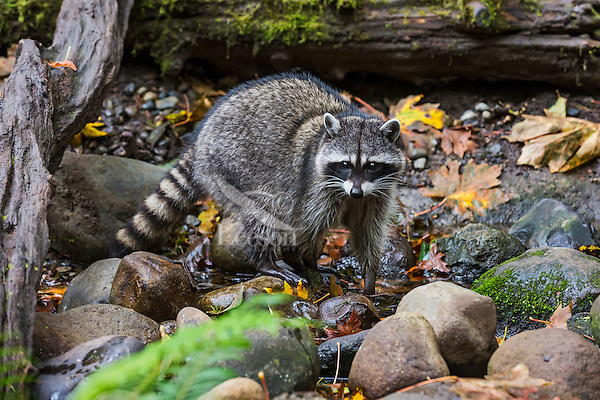 Raccoon (Procyon lotor) along small stream bed.  Pacific Northwest.  Fall.