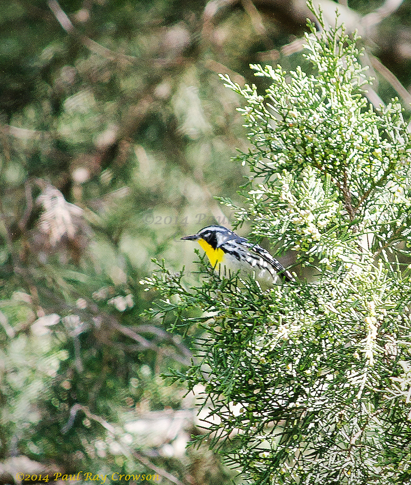 Yellow-throated Warbler in Cedar tree