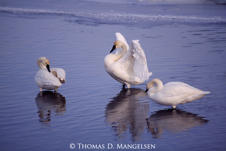 Three trumpeter swans standing together in water