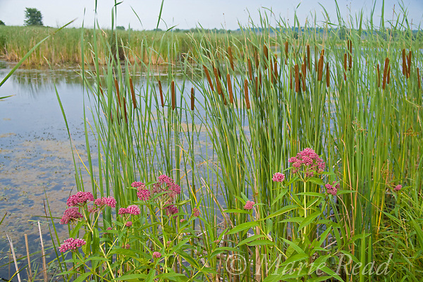 Freshwater marsh, with typical vegetation including narrow-leaved cattail (Typha angustifolia) and swamp milkweed (Asclepias incarnata), Perch River Wildlife Management Area, New York, USA