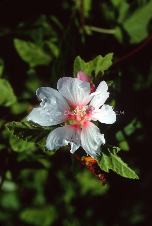 Tree Mallow 'Barnsley'. Lavatera x clementii