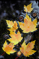 Yellow maple leaves floating in shallow creek with acorns and small bird feather