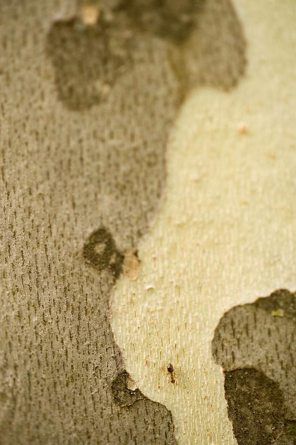 Greece, Meteora, Bark of Platan tree, Oriental Plane, (Platanus orientalis)