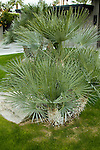 TRACHYCARPUS FORTUNEI, WINDMILL PALM
