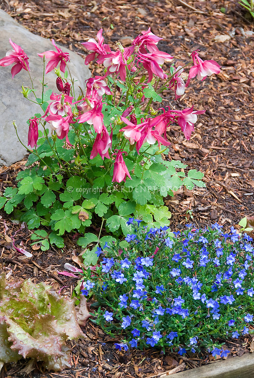 Aquilegia Spring Pink and White columbine with blue flowers of Lithodora diffusa Grace Ward and lettuce vegetable, with flowers in spring bloom, pink and blue garden color theme