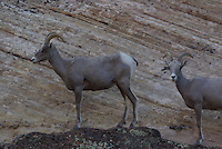 Desert Bighorn Sheep Ewe's seen on a rock ledge in southern Utah's Zion Nat. Park, on a summer day.