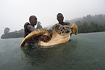 Rangers with a green turtle (Chelonia mydas). Rangers caught this big female green turtle in the pouring rain. Catching and tagging turtles, Rangers of the Tetepare Descendants' Association routinely catch and tag green and hawksbill turtles, which feed in the waters of Tetepare Island. The.aim of the work is to keep a record of the numbers of turtles and turtle species in.Tetepare's waters, and link the work of the Tetepare Descendants' Association's with that of international organizations like WWF.
