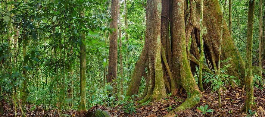 Strangler Fig (Ficus sp.), Maliau Basin, Sabah's 'Lost World', Sabah, Borneo, Malaysia.