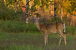 Wisconsin white-tailed doe in an autumn field.