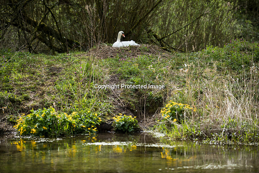26/04/19<br /> <br /> A swan sits on its nest in Lathkill Dale, near Youlgreave in the Derbyshire Peak District.<br /> <br /> All Rights Reserved, F Stop Press Ltd +44 (0)7765 242650  www.fstoppress.com rod@fstoppress.com