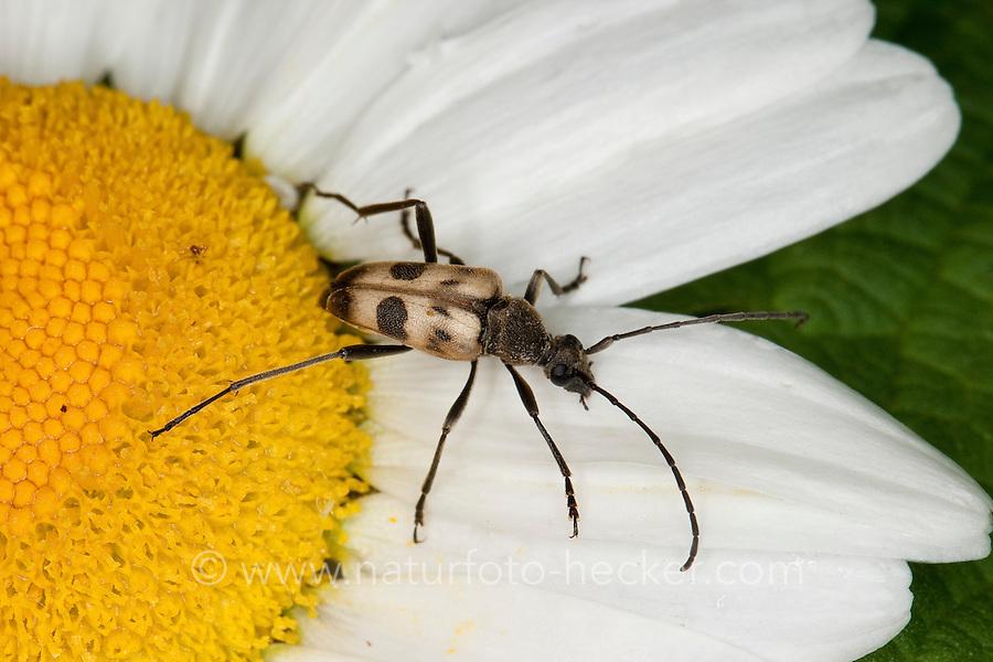Gefleckter Blütenbock, Blütenbesuch, Pachytodes cerambyciformis, Judolia cerambyciformis, Speckled Longhorn Beetle