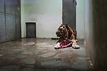 Oural the tiger devours his meal. Due to a coronavirus pandemic (COVID-19), Servion Zoo is closed to the public. Servion, Switzerland, April 30, 2020.<br /> Oural le tigre devore son repas. Pour cause de pandemie de coronavirus(COVID-19), le Zoo de Servion est ferme au public. Servion, Suisse, le 30 avril 2020.