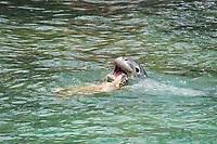 Hawaiian monk seal, Neomonachus schauinslandi, 2.5 year old male playing with a resisting green sea turtle or honu, Chelonia mydas, Pu'uhonua o Honaunau ( City of Refuge ) National Historical Park, Kona, Hawaii ( Big Island ) Hawaiian Islands, USA, ( Central Pacific Ocean )