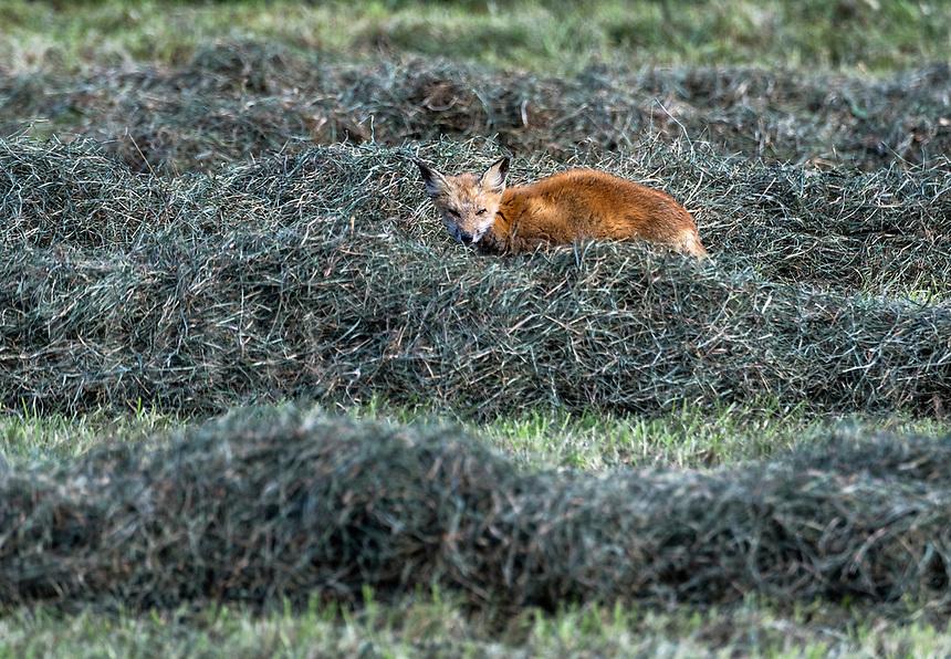 Red fox hunting in a hay field, Tiverton, Rhode Island, USA.