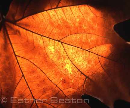 Branching, whether of trees or river systems, also happens in Golden Mean proportions. It is the most efficient way to distribute resources throughout a body. (BRANCHING).Autumn Leaf, backlit glow.