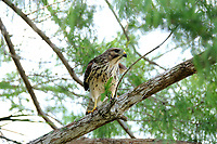 Red Shouldered Hawk perched in a tree and seeking a meal in Arthur Marshall Loxahatchee Wildlife Refuge, Boynton Beach,<br />